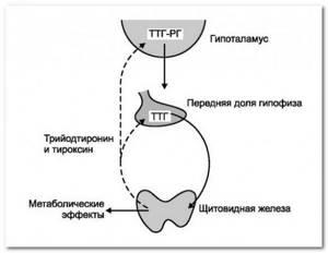 Какие основные гормоны выделяет щитовидная железа?